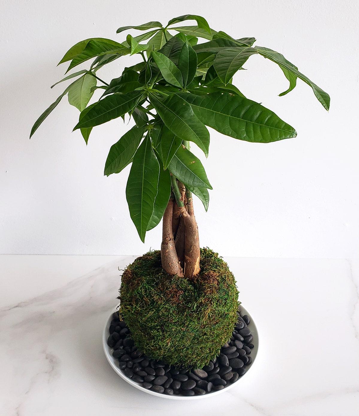 Kokedama avec Money Tree