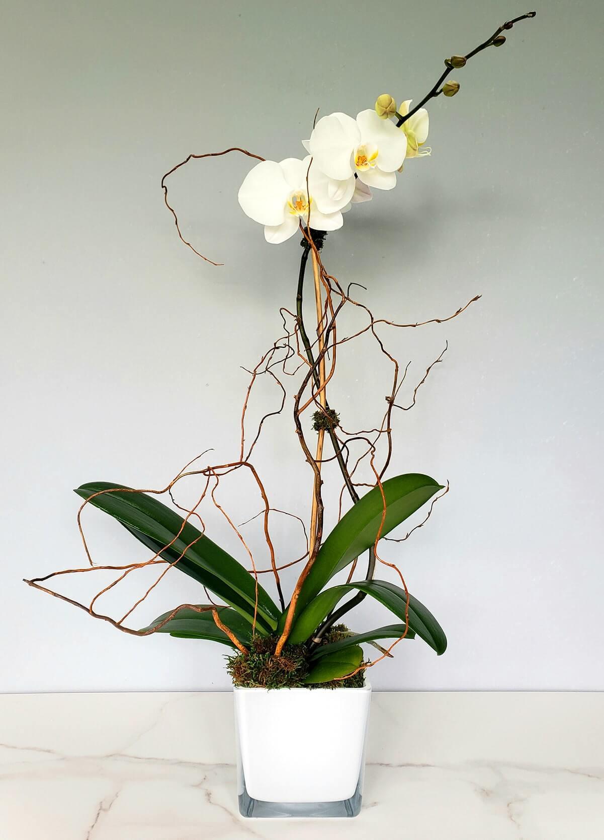 1 plante d'orchidée phalaenopsis blanche
