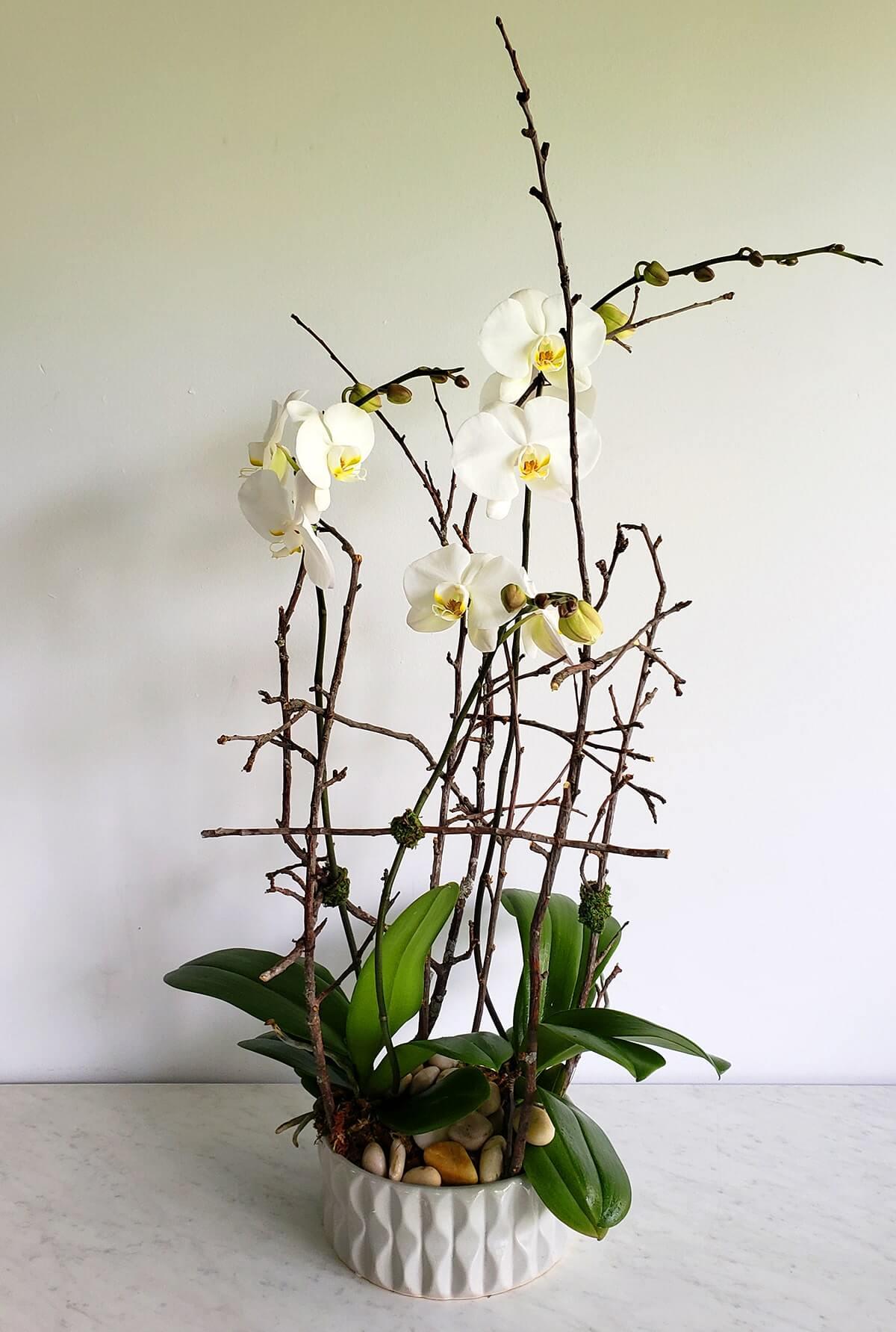 2 plantes d'orchidées Phalaenopsis blanches