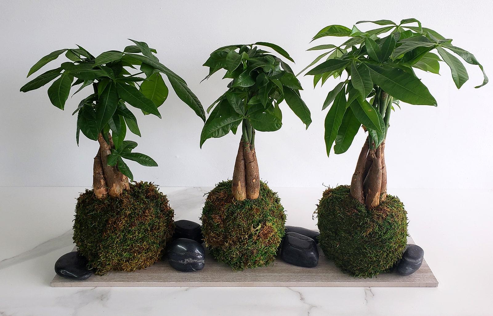 Kokedama avec trois Money Trees