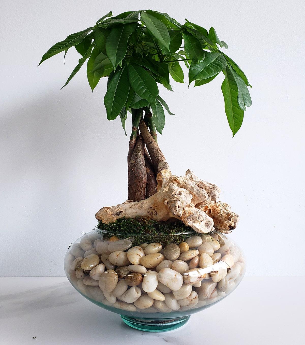 Money Tree dans son vase de roche et son bois exotique