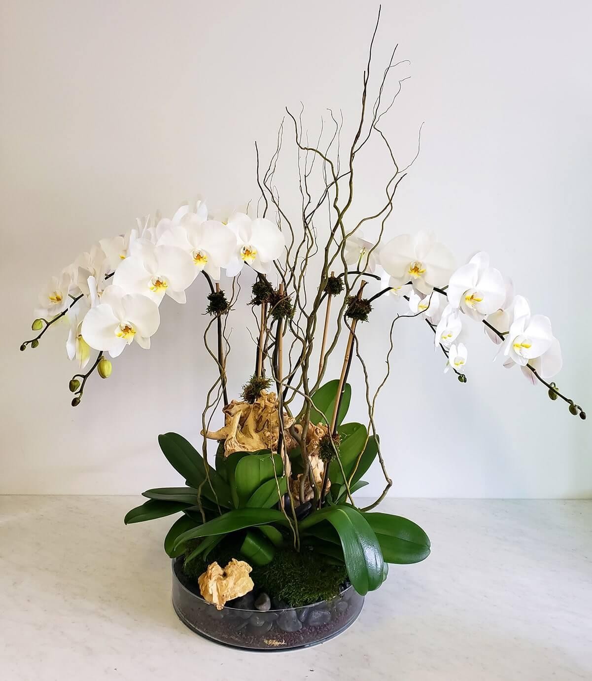 4 plantes d'orchidées phalaenopsis blanches